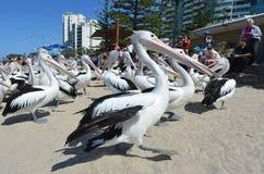 Pelikan - vattenfåglar Arkivbild