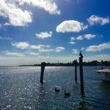 Pelikan vid fjärden i Florida Arkivbild
