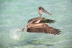 Pelikan vliegen Stock Foto's