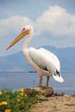 Pelikan von Mykonos, Griechenland Stockfotografie