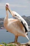 Pelikan von Mykonos, Griechenland Stockfotos