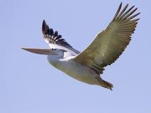 Pelikan właśnie ono wszczynał w lot od schronienia przy Durban w Południowa Afryka Zdjęcie Royalty Free