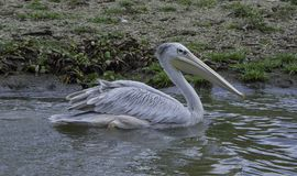 Pelikan w dzikim Zdjęcia Royalty Free
