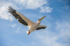 Pelikan w locie zdjęcie royalty free