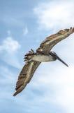 Pelikan w locie Fotografia Royalty Free