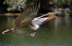 Pelikan w locie Obraz Stock