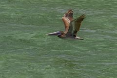Pelikan w locie przy Jasną wody plażą Florida Fotografia Stock