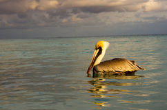 Pelikan w morzu Fotografia Stock