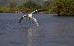 Pelikan w powietrzu Fotografia Stock