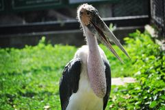 Pelikan w słońcu - Pekin obraz royalty free