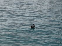 Pelikan w wodzie Zdjęcia Royalty Free