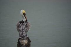 Pelikan Wachluje Jego Upierza zdjęcie stock