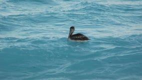 Pelikan, Wasservogel in Cancun-Strand, Mexiko lizenzfreie stockfotos