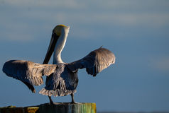 Pelikan Wietrzy jego Uskrzydla obrazy stock