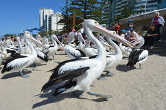 Pelikan - Wodni ptaki Fotografia Stock