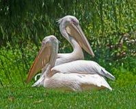 Pelikan Yin Yang Stockfoto
