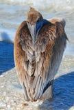 Pelikan z belfra Obrębiony Zacofanym! Zdjęcia Royalty Free