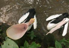 Pelikan z otwartym usta Obrazy Stock