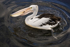 Pelikan z ryba Obraz Royalty Free