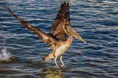Pelikan z skrzydłami rozprzestrzenia 3 Fotografia Royalty Free