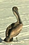 Pelikan zatoki meksykańskiej plaża fotografia royalty free