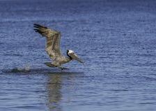 Pelikan zdejmował od wody fotografia royalty free