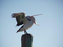Pelikan zieht seinen Kopf herein Lizenzfreie Stockfotos