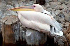 Pelikan am Zoo Lizenzfreie Stockbilder