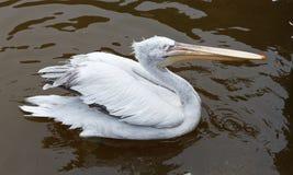 Pelikan am Zoo Lizenzfreie Stockfotografie