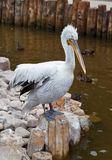 Pelikan am Zoo lizenzfreie stockfotos