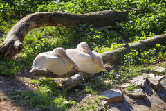 Pelikan zwei stockfotografie