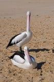 Pelikan zwei: Moore River Mouth Sandbar, West-Australien lizenzfreies stockfoto