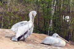 Pelikan zwei (weiße Vögel) mit den langen Schnäbeln sitzen nahe dem Wasser und Stockbilder