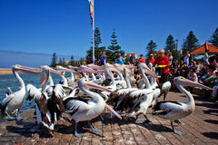 Pelikana żywieniowy czas fotografia royalty free