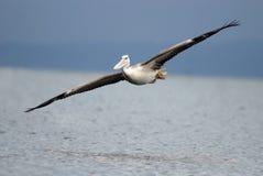 Pelikana afrykanin, Różowi podpartego pelikana, Pelecanus rufescens Fotografia Stock