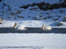 pelikana amerykański biel Zdjęcie Stock