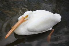 pelikana amerykański biel zdjęcia stock