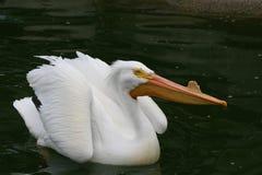 pelikana biel obrazy royalty free