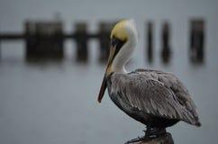 Pelikana Boczny widok zdjęcia royalty free