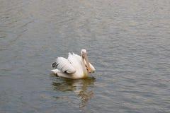 Pelikana dopłynięcie w jeziorze Obrazy Stock