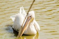 Pelikana dopłynięcie w stawie Zdjęcie Royalty Free