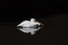 pelikana dosypianie zdjęcie royalty free