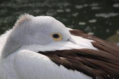 pelikana dosypianie Fotografia Stock