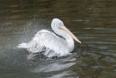 Pelikana i wody chełbotanie Zdjęcie Royalty Free