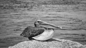 Pelikana Jupiter wpusta Atlantycki ocean Floryda fotografia stock