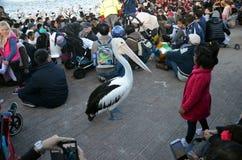 Pelikana karmienia przedstawienie przy wejściem zdjęcie royalty free
