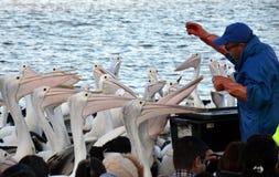 Pelikana karmienia przedstawienie przy wejściem Fotografia Royalty Free