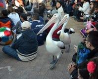 Pelikana karmienia przedstawienie przy wejściem Zdjęcia Royalty Free