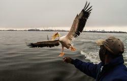 Pelikana karmienie w Walvis zatoce zdjęcia stock