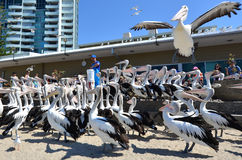 Pelikana karmienie - złoto Brzegowy Queensland Australia Zdjęcie Royalty Free